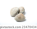 rummaging, manila clam, shell 23470434