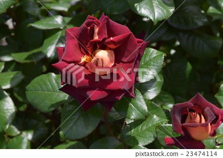 Roses 23474114
