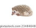 Hedgehog isolate on white background 23484648