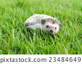 Little Hedgehog in the green grass 23484649