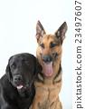 dog, dogs, large-breed 23497607