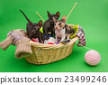 Three kittens Cornish Rex 23499246