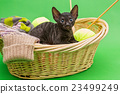 Black kitten Cornish Rex 23499249