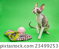 Cat breed Cornish Rex and knitting 23499253