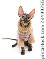 Cat breed Cornish Rex  in  sweater 23499256