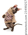 Cat breed Cornish Rex  in  sweater 23499257