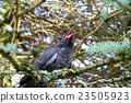 Black crow on the tree 23505923