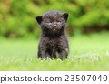 Angry black kitty 23507040