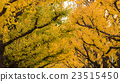 Golden yellow ginkgo trees 23515450