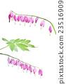 Dicentra spectabilis flower 23516909