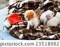 White and orange newborn kitten in a plaid blanket 23518062