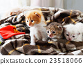 White and orange newborn kitten in a plaid blanket 23518066