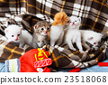 White and orange newborn kitten in a plaid blanket 23518068