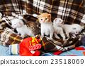 White and orange newborn kitten in a plaid blanket 23518069