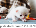 White Newborn kitten in a plaid blanket 23518070