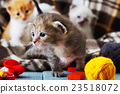 White and orange newborn kitten in a plaid blanket 23518072