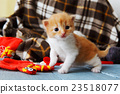 Red orange newborn kitten in a plaid blanket 23518077