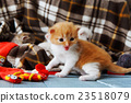 Red orange newborn kitten in a plaid blanket 23518079