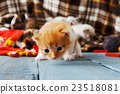 Red orange newborn kitten in a plaid blanket 23518081