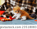 Red orange newborn kitten in a plaid blanket 23518083