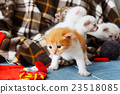 Red orange newborn kitten in a plaid blanket 23518085