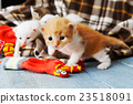 Red orange newborn kitten in a plaid blanket 23518091