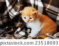 Red orange newborn kitten in a plaid blanket 23518093