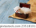 Cute white tiny Kitten in jewel box. 23518101