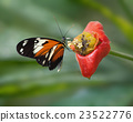 Heliconia butterfly feeding on Hot Lips flower. 23522776
