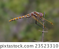 Perched dragonfly. 23523310