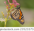 Monarch butterfly feeding on red valerian. 23523373