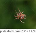 Orb Weaver or Garden Spider.  23523374