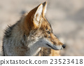 Coyote in Death Valley National Park in California 23523418