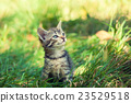 small kitten sitting on the grass 23529518
