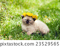 Little kitten crowned dandelion chaplet 23529565