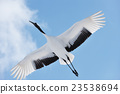 red-crowned, crane, cranes 23538694