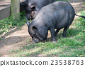 female giant wild boar eating bread close up 23538763