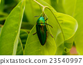 Beautiful Jewel Beetle or Metallic Wood-boring  23540997