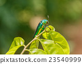 Beautiful Jewel Beetle or Metallic Wood-boring  23540999