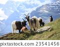 阿爾卑斯山脈 動物 綿羊 23541456