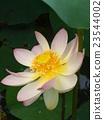 ดอกบัวโบราณไม่มี Sato 23544002