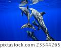 海豚 東方寬吻海豚 哺乳動物 23544265