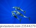 海豚 東方寬吻海豚 哺乳動物 23544270