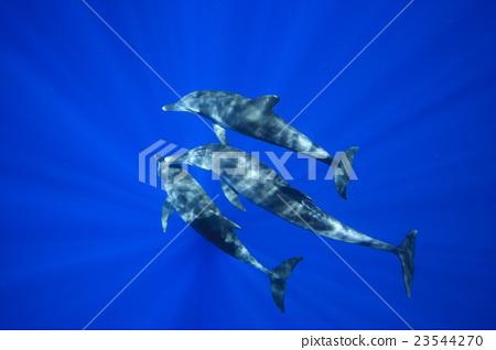 海豚 东方宽吻海豚 海底的 23544270