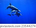 海豚 東方寬吻海豚 哺乳動物 23544274