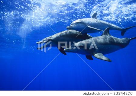 在小笠原的南海手海豚 23544276