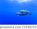 東方寬吻海豚 動物 游泳 23546254