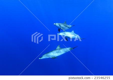 东方宽吻海豚 海洋 海 23546255