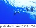 海豚游泳 东方宽吻海豚 海洋 23546256