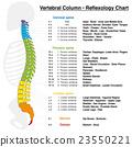 Vertebral Column Reflexology Chart 23550221